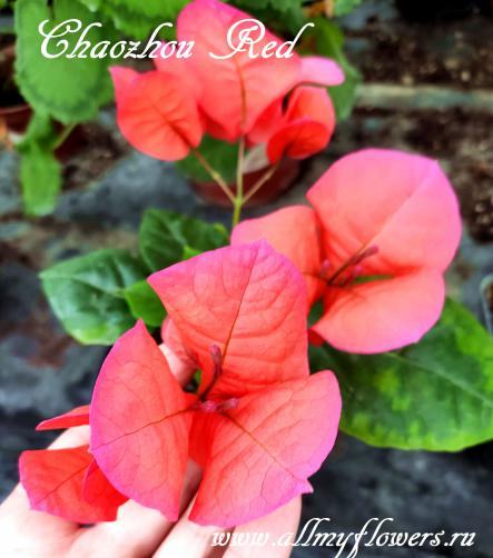 Бугенвиллия Chaozhou Red, All My Flowers, bougainvillea Chaozhou Red