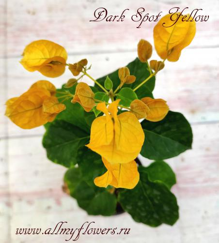 Dark spot yellow, bougainvillea Dark spot yellow, бугенвиллия Dark spot yellow