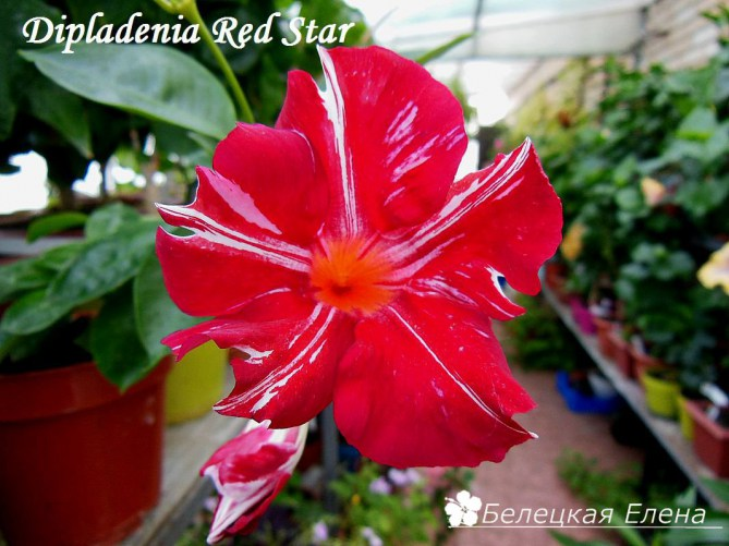 Dipladenia Red Star