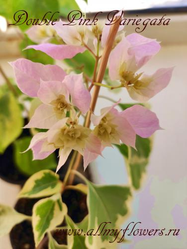 Бугенвиллия Double Pink Variegata, All My Flowers, bougainvillea Double Pink Variegata