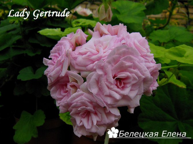 Lady Gertrude1