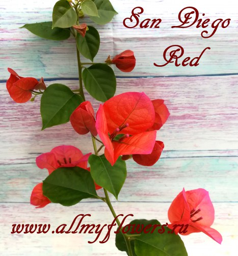 San Diego Red (1)