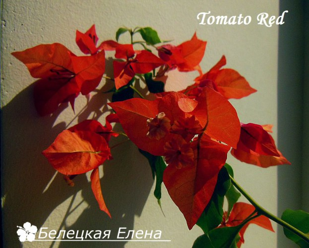 Tomato Red1